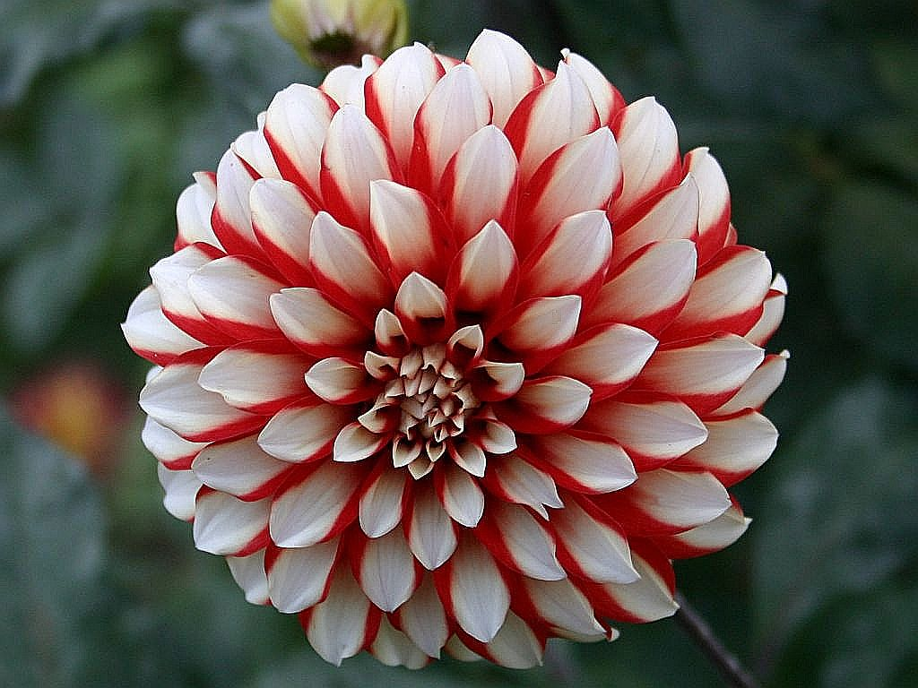 Useful tips to grow dahlias dahlia izmirmasajfo