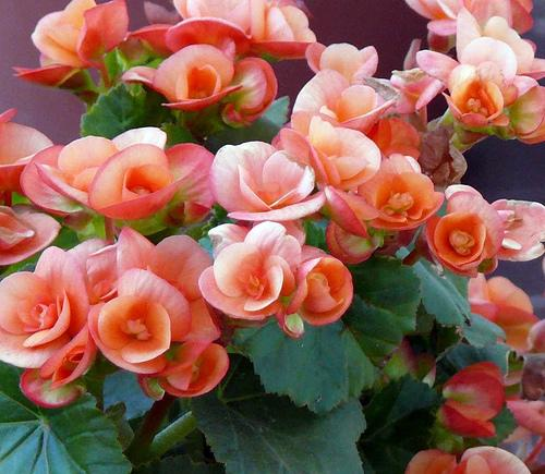 Indoor flowering plants that do not need sunlight for Flowering plants for indoors