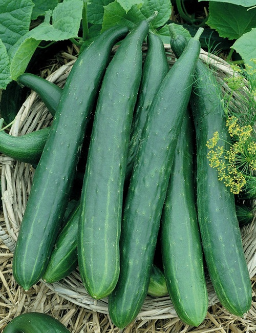 Green Long Cucumber Pack Of 30 Seeds - GreenMyLife ...