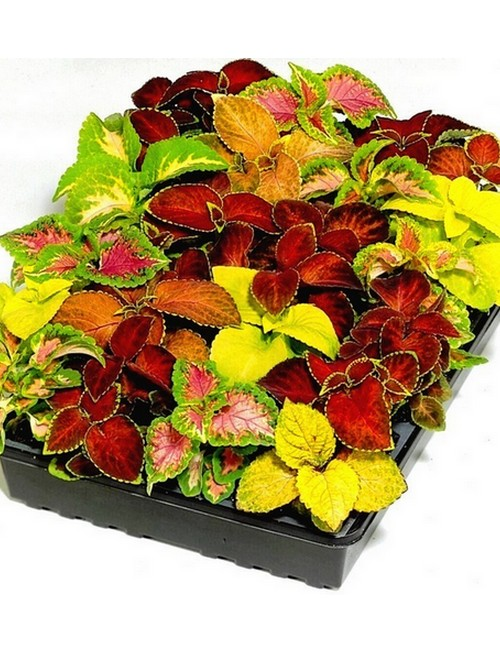 Coleus Rainbow Mixed on Color Life Cycle 7