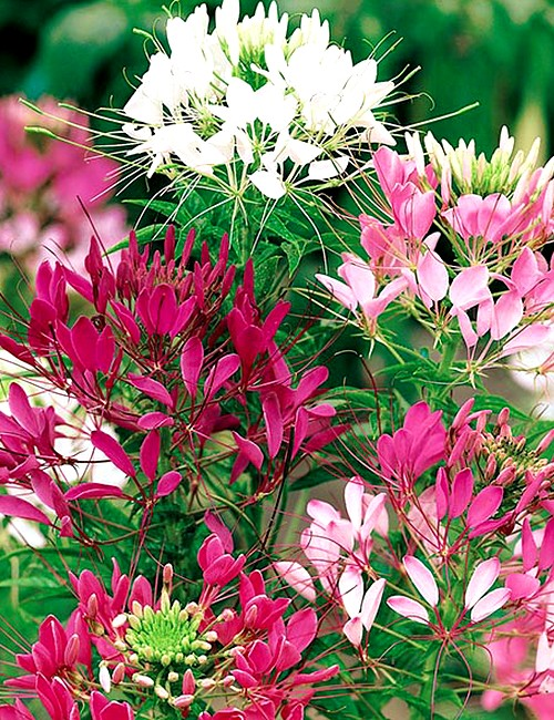 Cleome Spinosa Mixed Seeds Greenmylife Anyone Can Garden