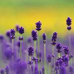 Beautiful-Lavender-flowers