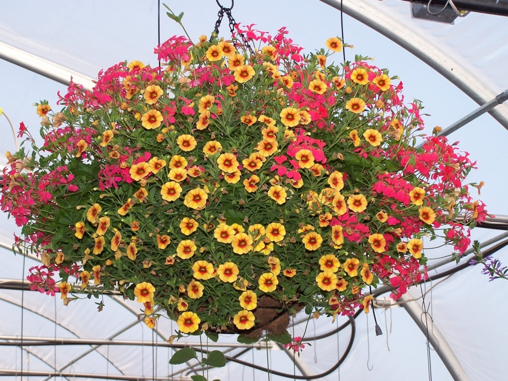 How To Make Flower Baskets For Hanging : Cosmos hanging basket greenmylife anyone can garden