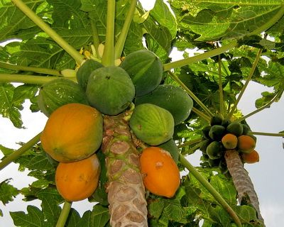 top 5 fruit trees for your terrace