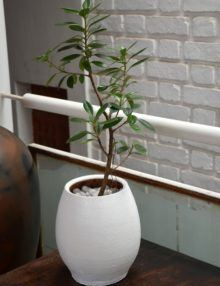 Ficus Green Island, office, home, house, patios, window sill, window, balcony, corridor