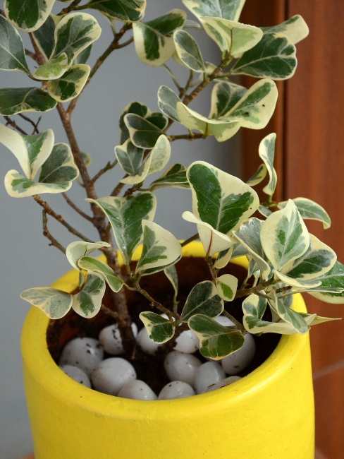 Ficus Triangularis Only For Bangalore Delivery