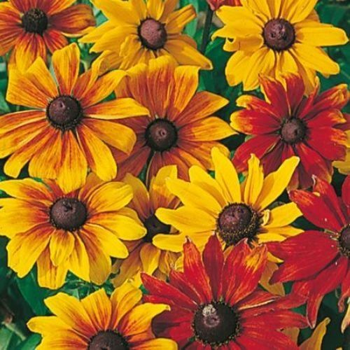 Rudbeckia Rustic Dwarf Mixed , Plants, seeds, home, house, office, apartments, garden,