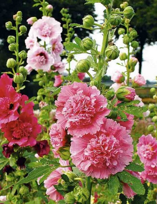 Hollyhocks Double Dwarf Mix