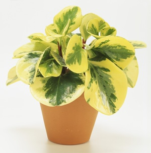 Yellow and green variegated leaves of Peperomia obtusifolia or desert privet in a terracotta pot.