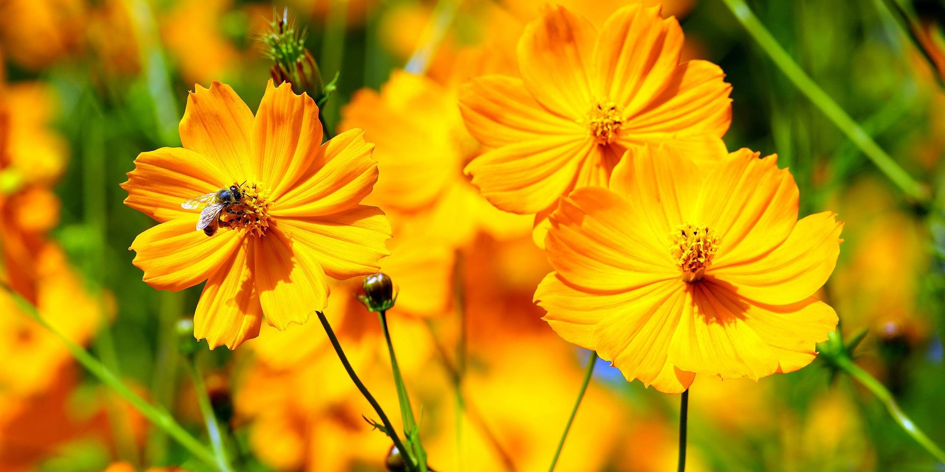 How To Grow Cosmos Flowers Greenmylife